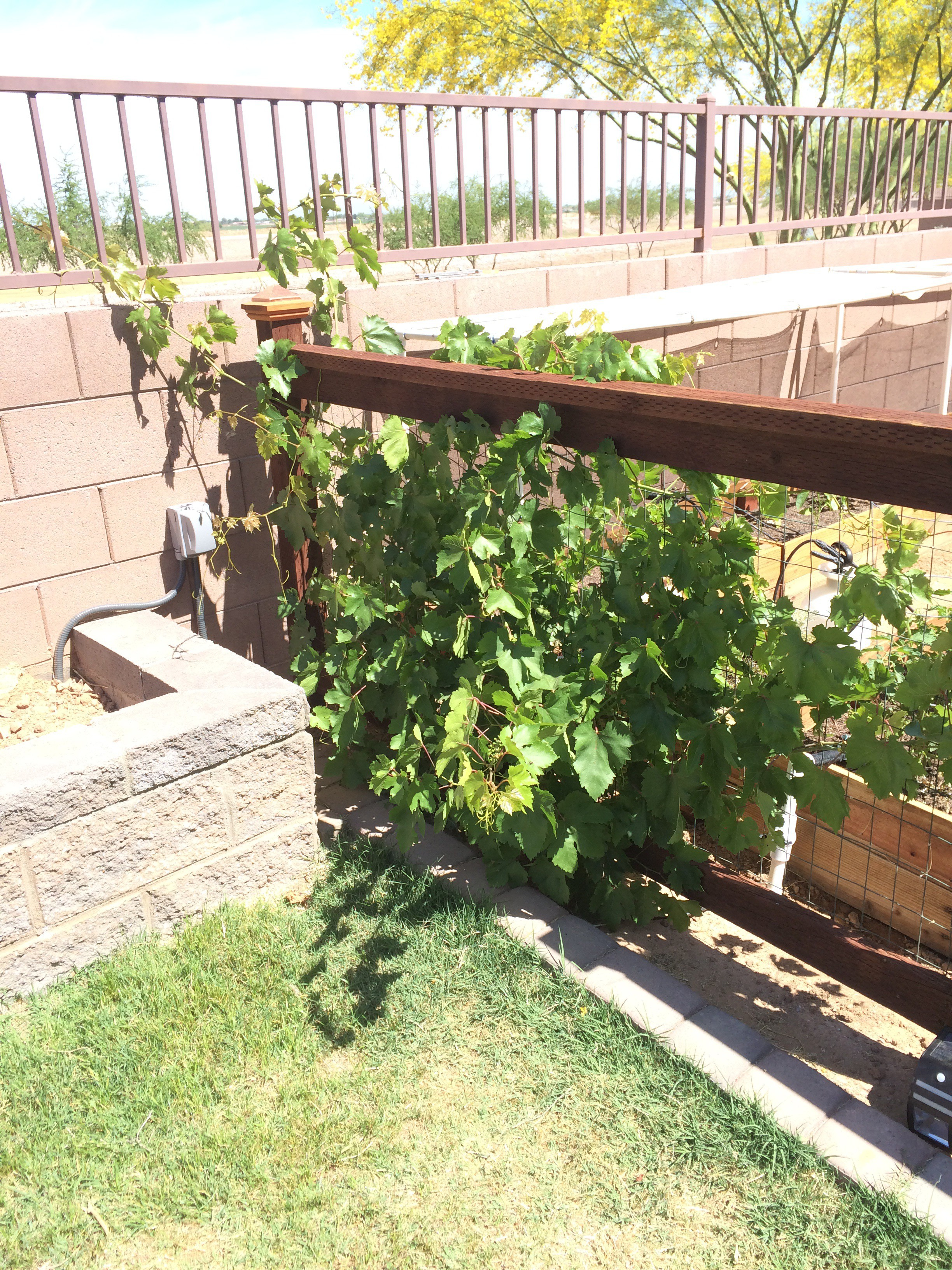 five tips for growing grapes in phoenix handmade and homegrown