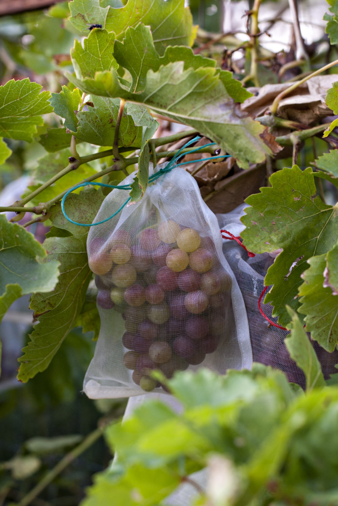 Five Tips For Growing Grapes In Phoenix Handmade And