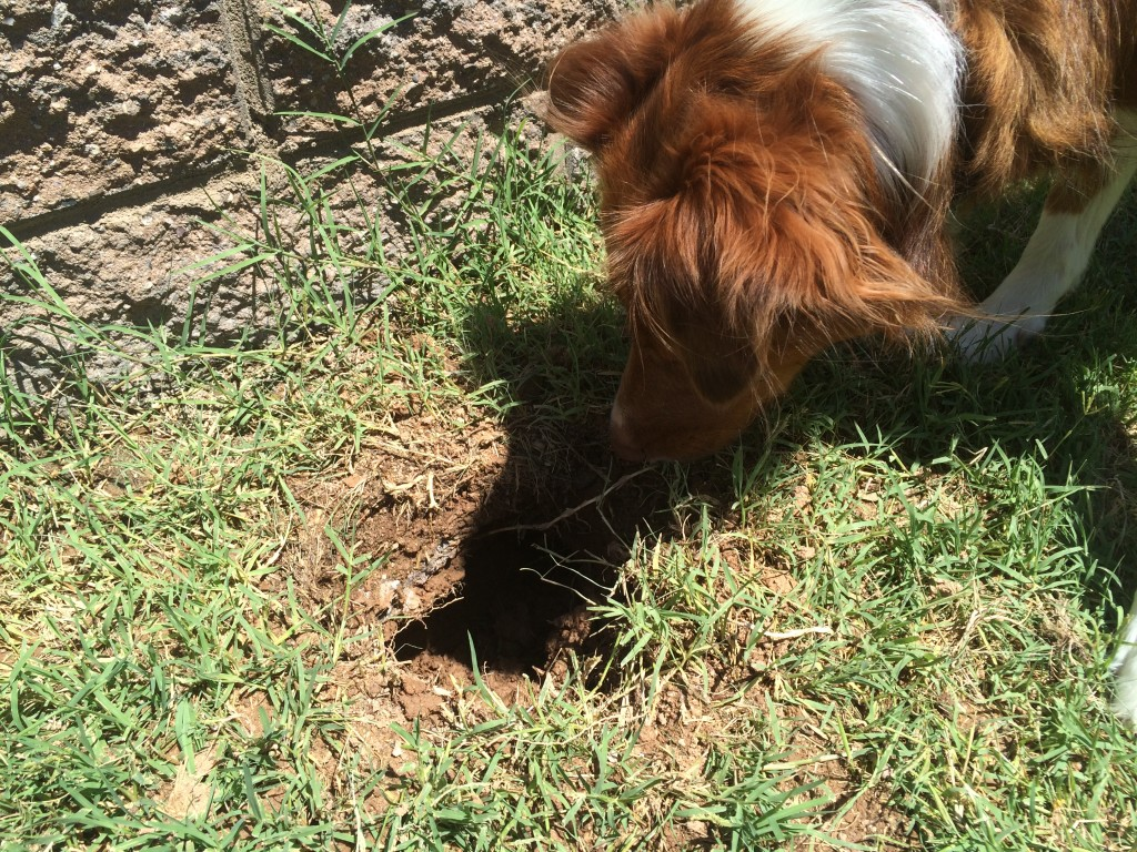 how to rid your yard of pocket gophers in arizona handmade and